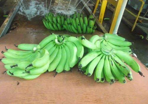 Bananenfarm - die richtige Entscheidung?