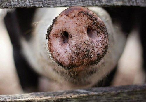 Arbeiten auf einer Schweinefarm in Queensland